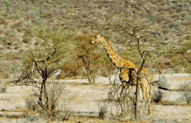 фотографии Samburu Serena Safari Lodge изображение №4